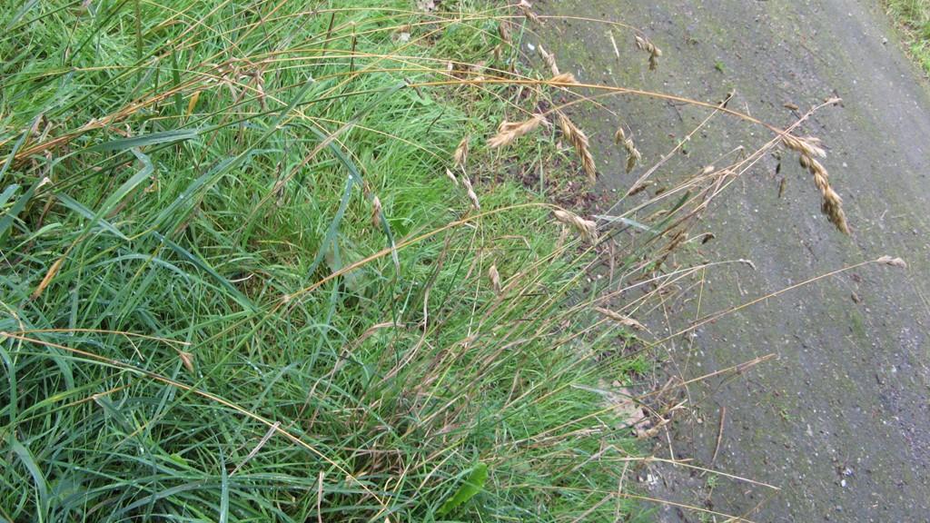 Foto/billede af Almindelig Hundegræs (Dactylis glomerata ssp. glomerata)