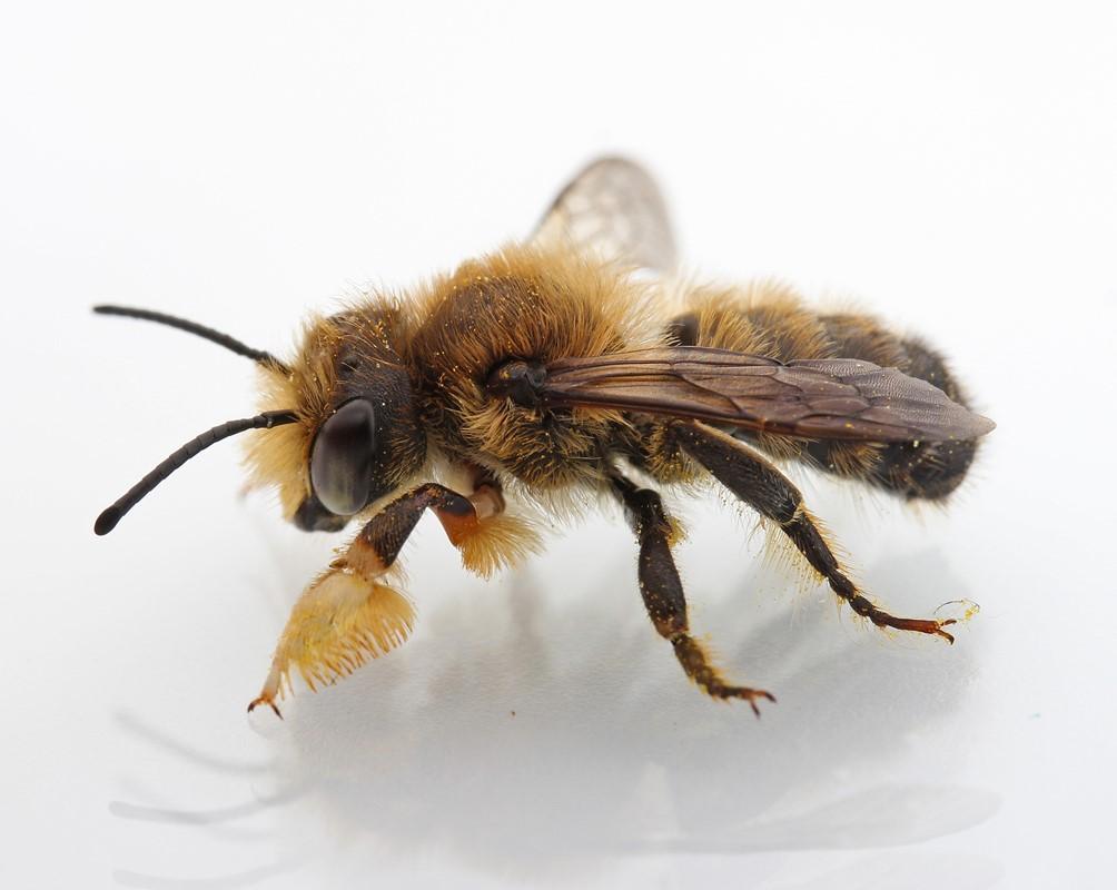 Foto/billede af Træboende Bladskærerbi (Megachile willughbiella)