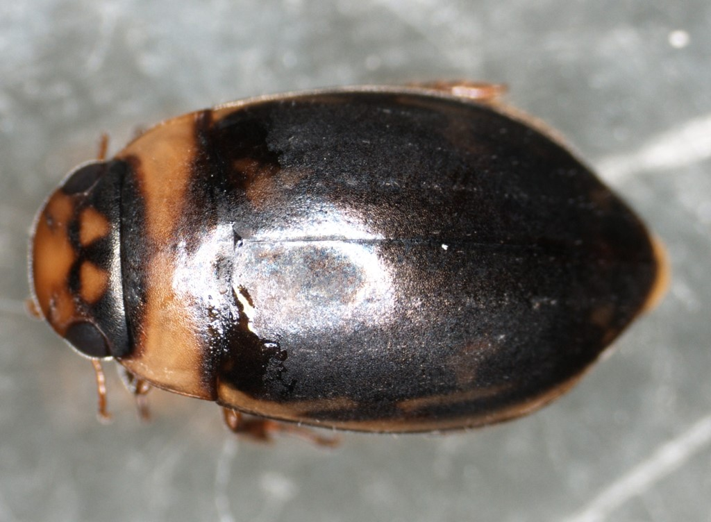 Gulstribet Åvandkalv (Platambus maculatus)