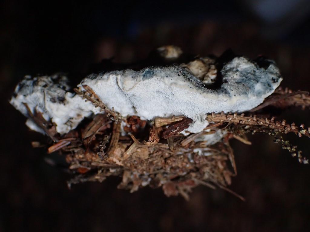 Blålig Kødporesvamp (Postia caesia)
