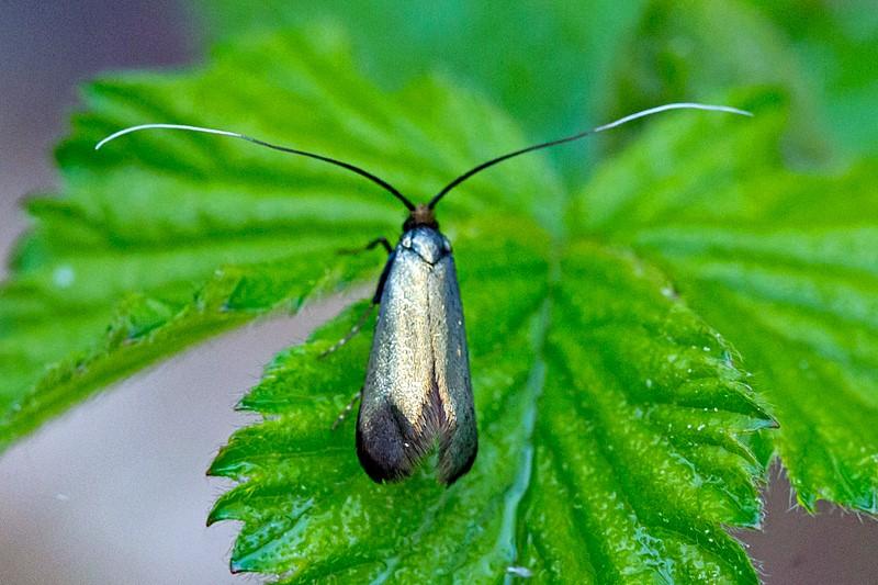 Egelanghornsmøl (Adela reaumurella)