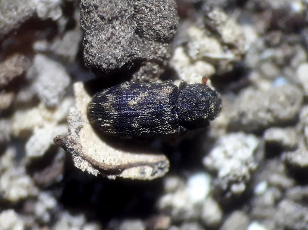Foto/billede af Synchita variegata (Synchita variegata)