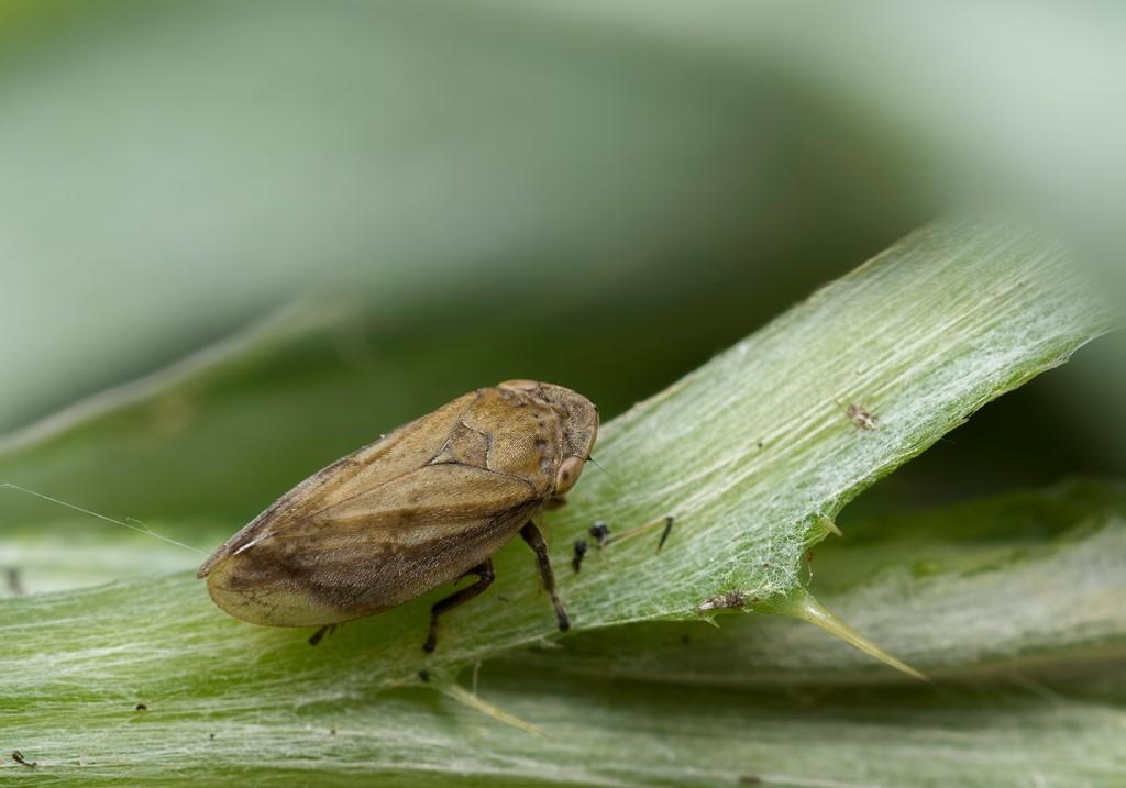 Foto/billede af Almindelig Skumcikade (Philaenus spumarius)