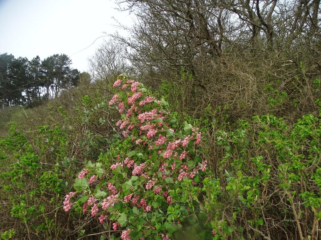 Foto/billede af Blod-Ribs (Ribes sanguineum)