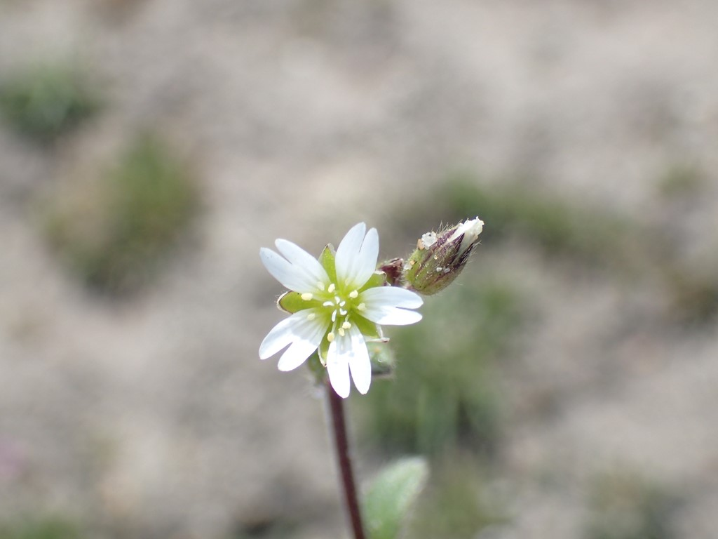Foto/billede af Femhannet Hønsetarm (Cerastium semidecandrum)