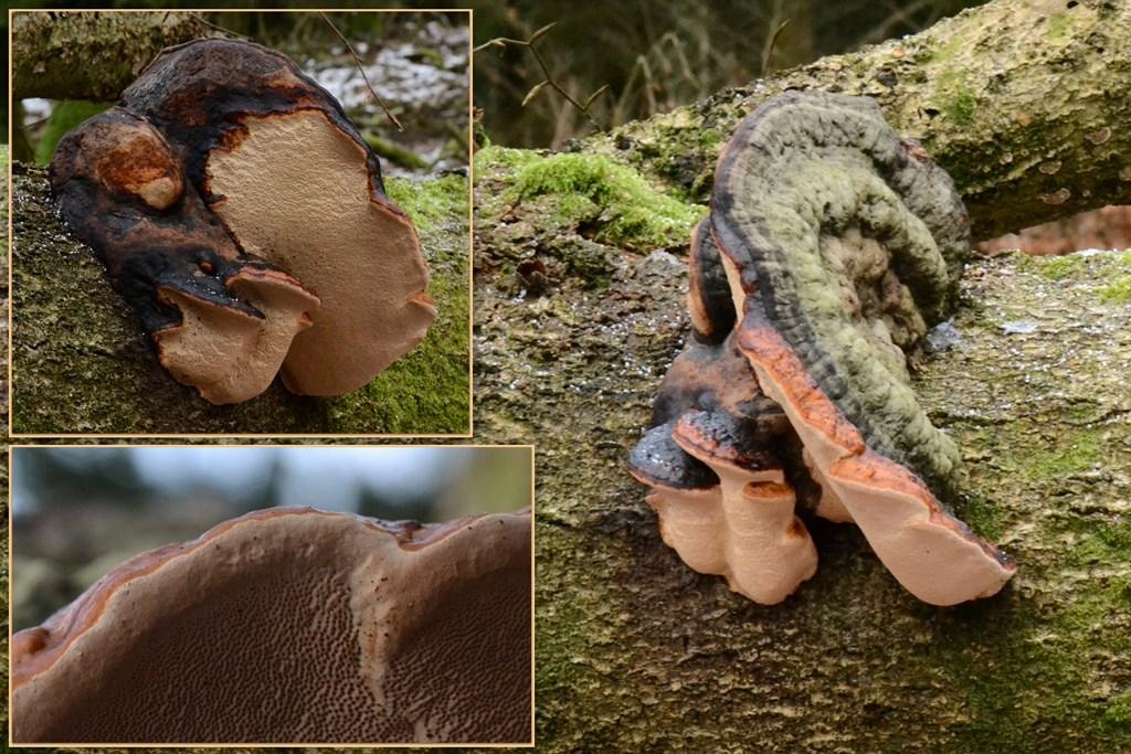 Foto/billede af Randbæltet Hovporesvamp (Fomitopsis pinicola)