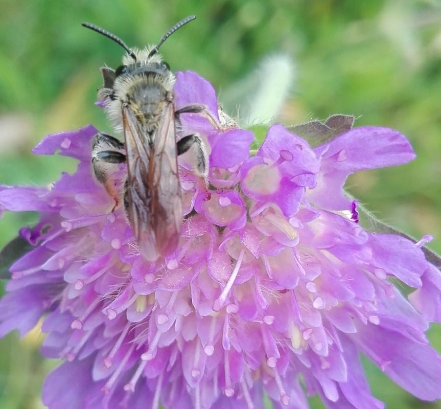 Foto/billede af Vårsilkebi (Colletes cunicularius)