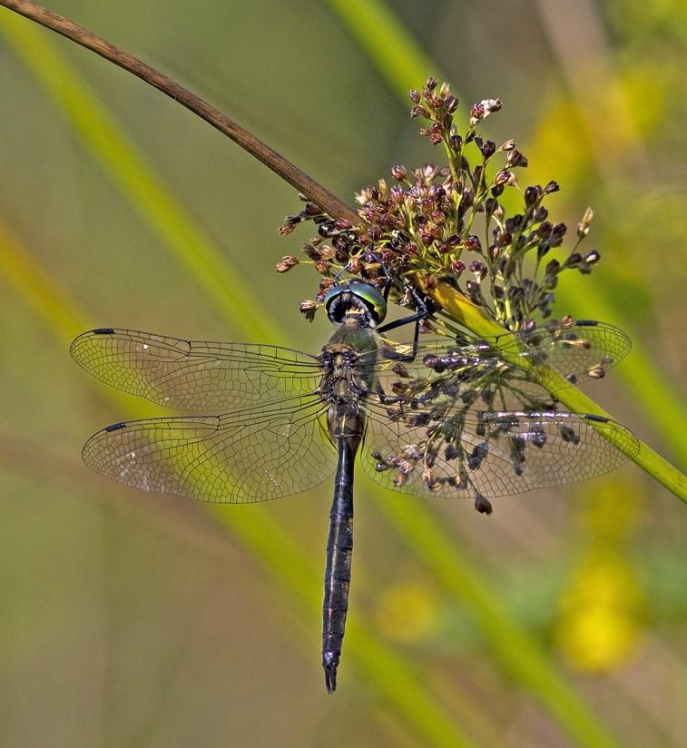 Foto/billede af Plettet smaragdlibel (Somatochlora flavomaculata)