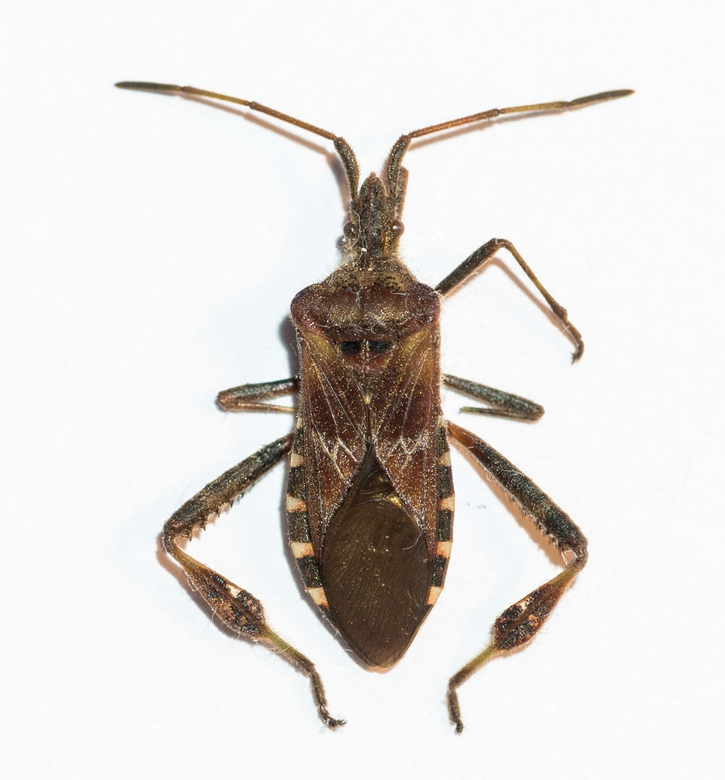 Foto/billede af Amerikansk Fyrretæge (Leptoglossus occidentalis)