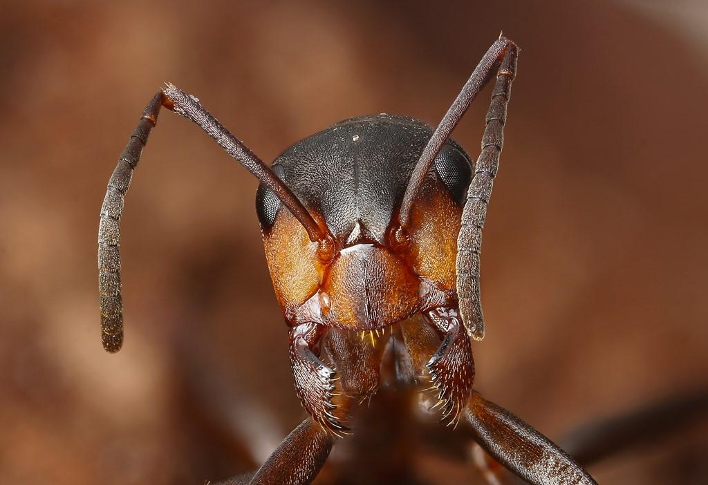 Foto/billede af Lille Skovmyre (Formica polyctena)