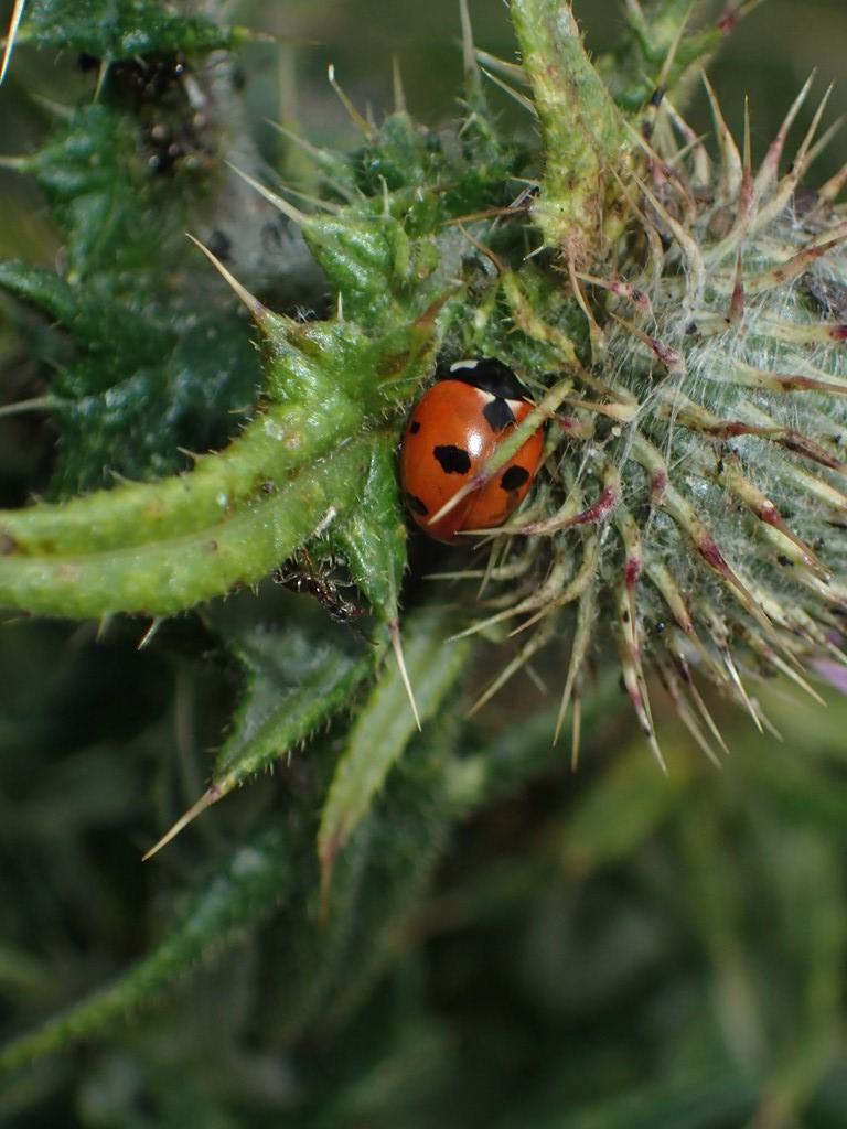 Syvplettet Mariehøne (Coccinella septempunctata)