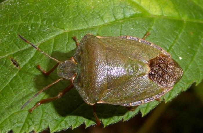 Foto/billede af Grøn bredtæge (Palomena prasina)