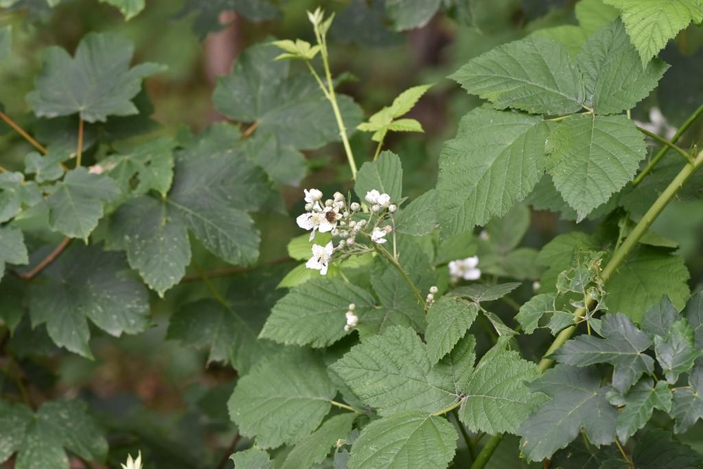 Gråbladet Hasselbrombær