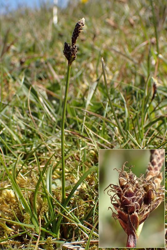 Lyng-Star (Carex ericetorum)