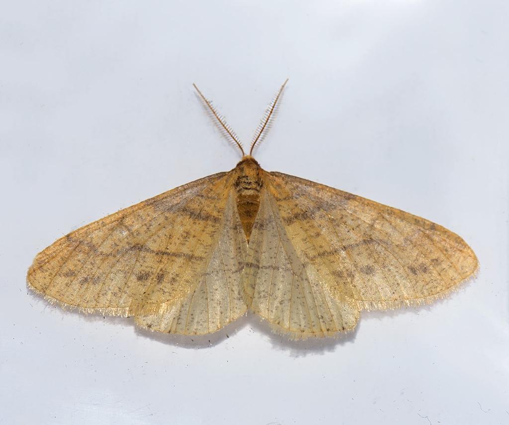 Foto/billede af Guldgul Frostmåler (Agriopis aurantiaria)