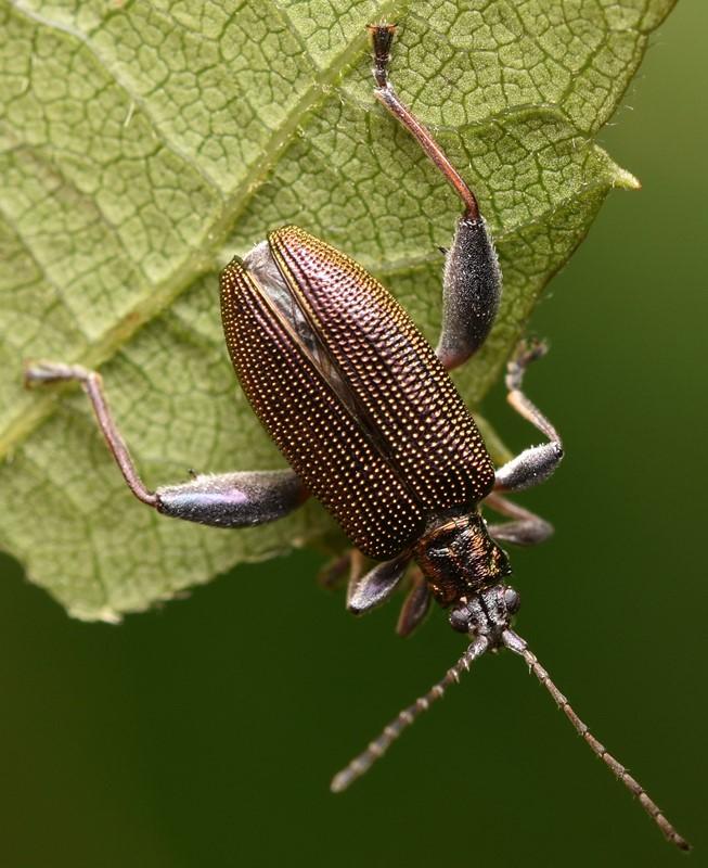 Donacia versicolorea (Donacia versicolorea)