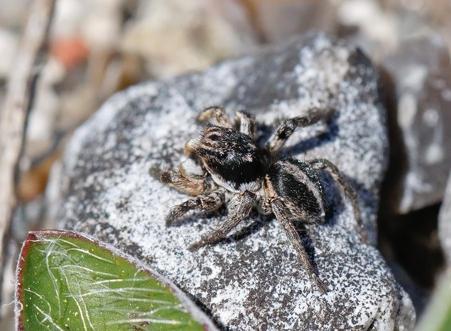 Foto/billede af V-Mærket Hoppekop (Aelurillus v-insignitus)