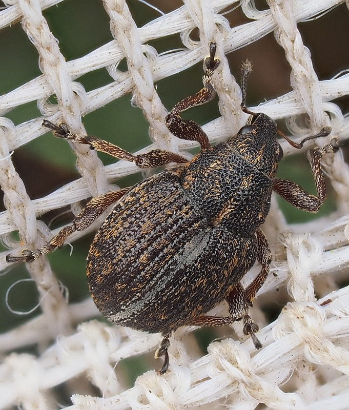 Foto/billede af Rhinoncus inconspectus (Rhinoncus inconspectus)