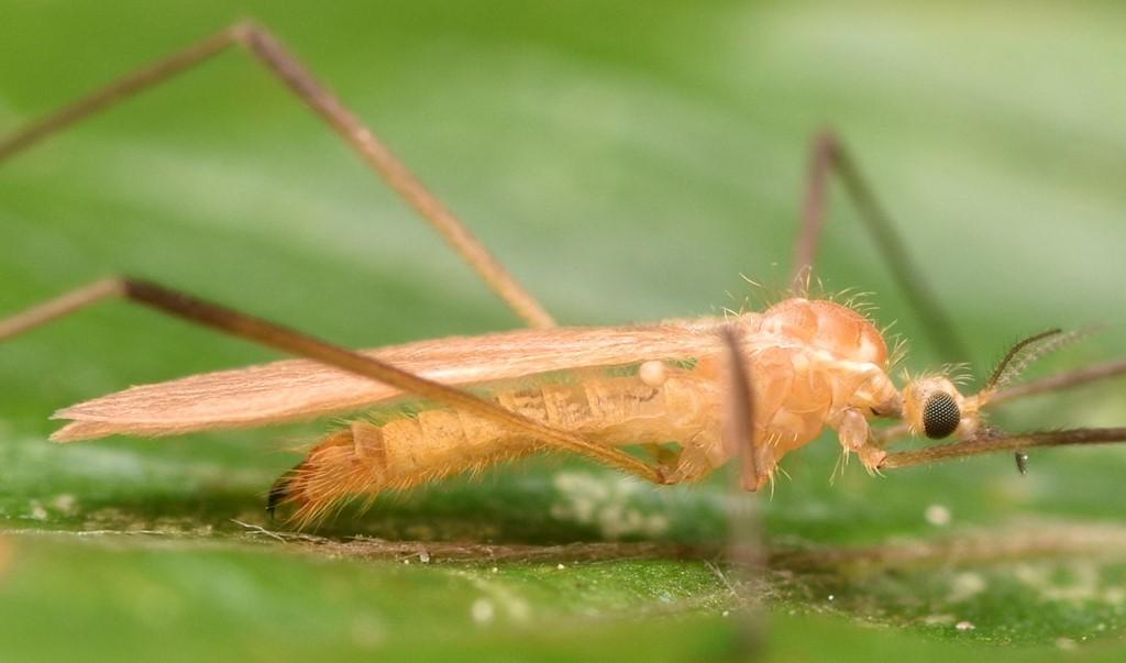 Molophilus sp.