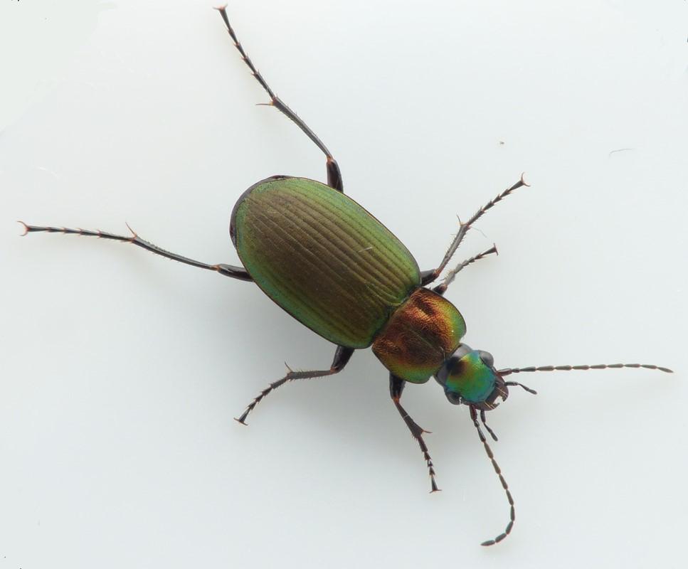 Foto/billede af Grøn Fløjlsløber (Chlaenius nigricornis)