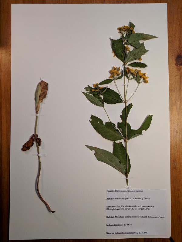 Foto/billede af Almindelig Fredløs (Lysimachia vulgaris)