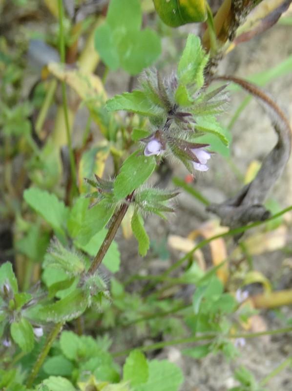 Foto/billede af Ager-Galtetand (Stachys arvensis)