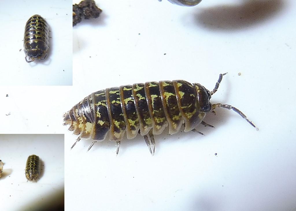 Foto/billede af Stor broget kuglebænkebider (Armadillidium pictum)