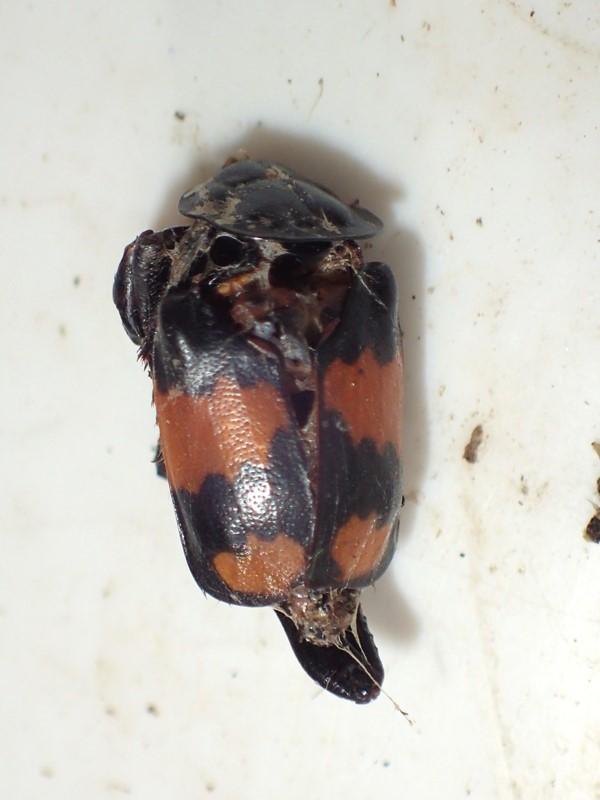 Sortkøllet Ådselgraver (Nicrophorus vespilloides)