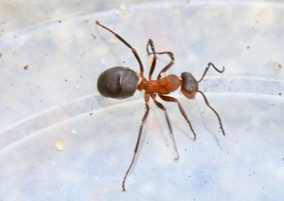Rød Skovmyre ubest. (Formica rufa/aquilonia/polyctena/pratensis)