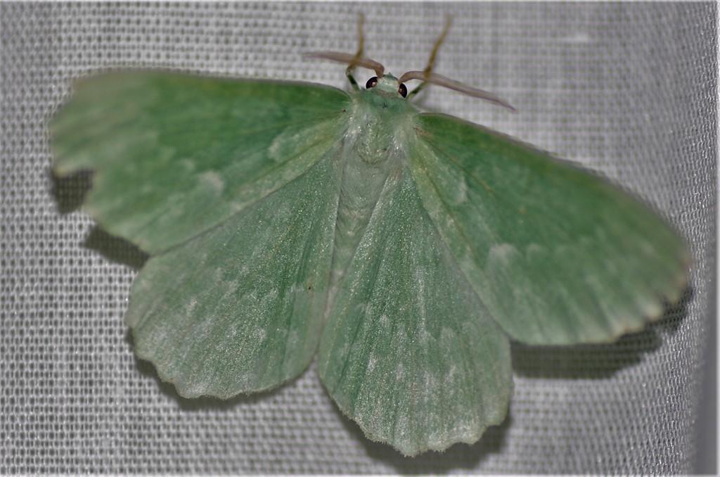Foto/billede af Grøn Birkemåler (Geometra papilionaria)