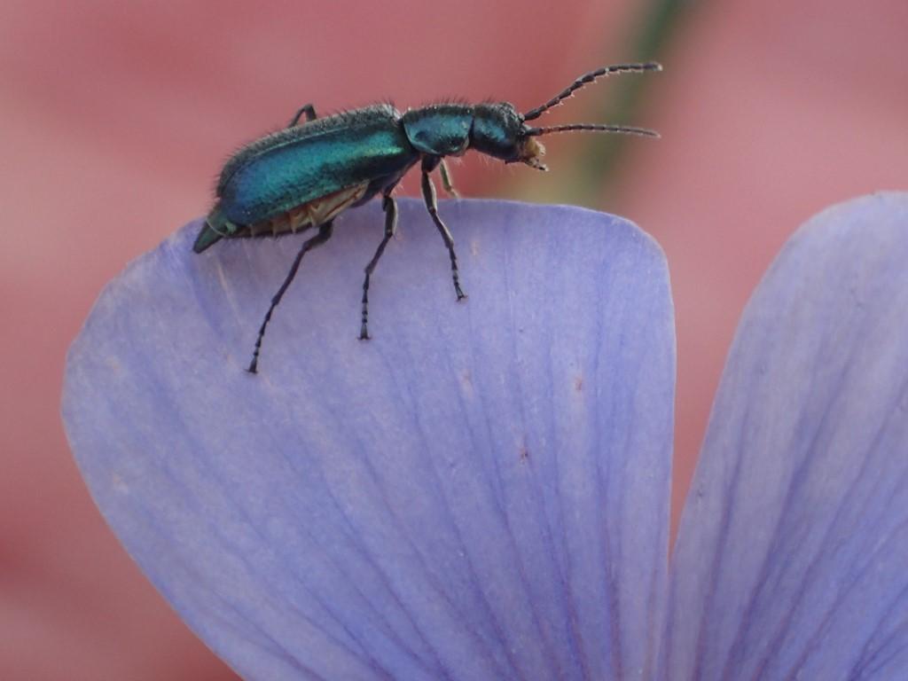 Foto/billede af Blå Malakitbille (Dasytes caeruleus)