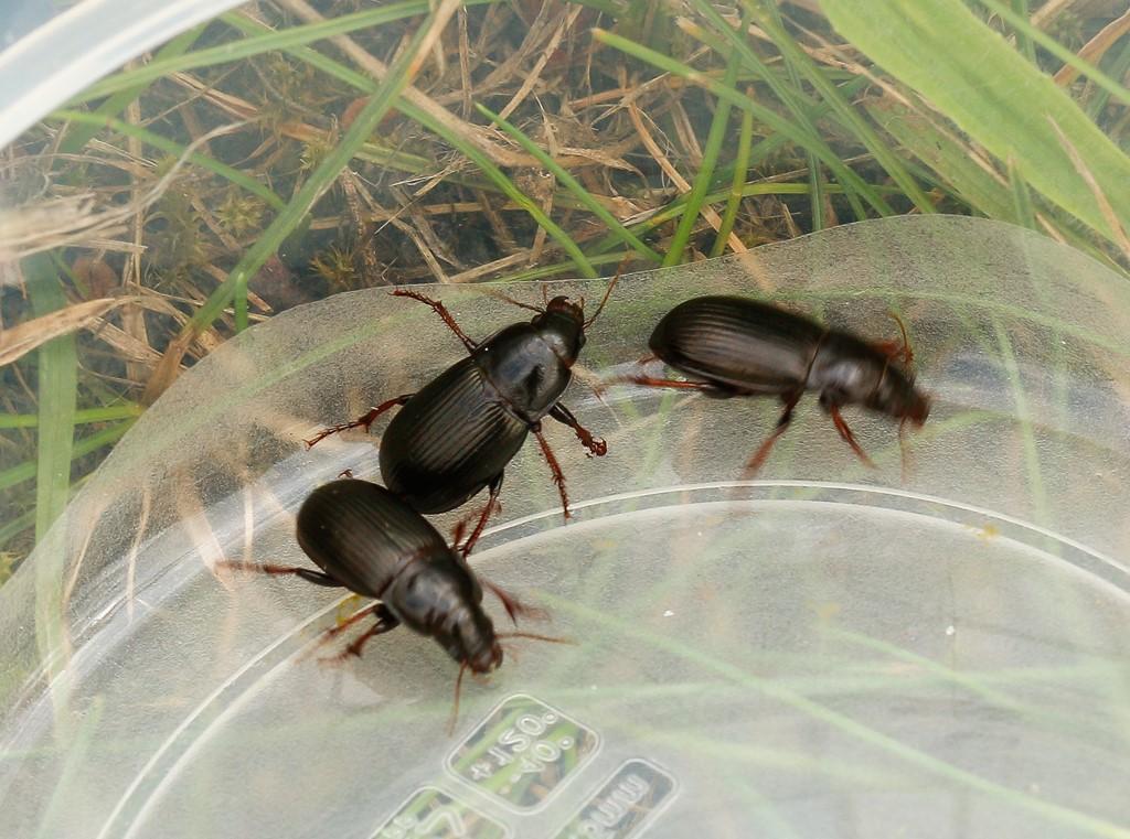 Foto/billede af Aksløber (Zabrus tenebrioides)