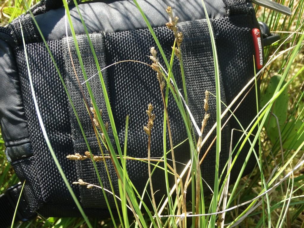 Grå Star (Carex canescens)
