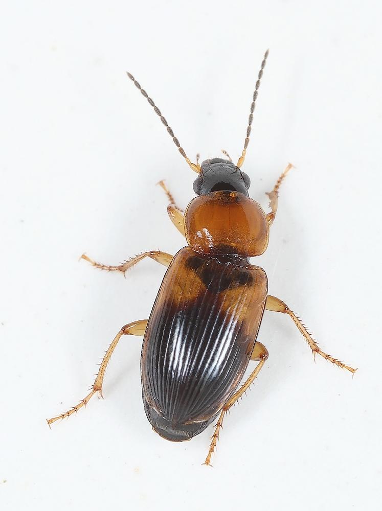 Foto/billede af Spraglet Damløber (Stenolophus teutonus)