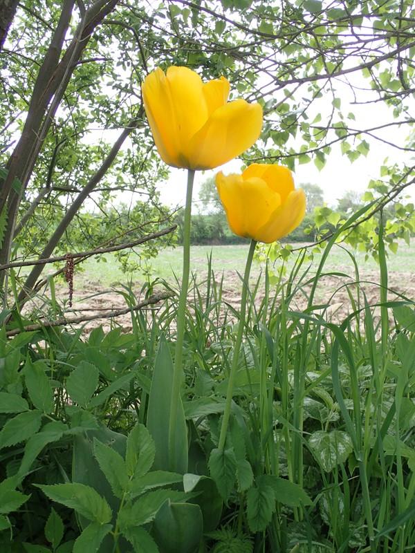 Foto/billede af Have-Tulipan (Tulipa gesneriana)