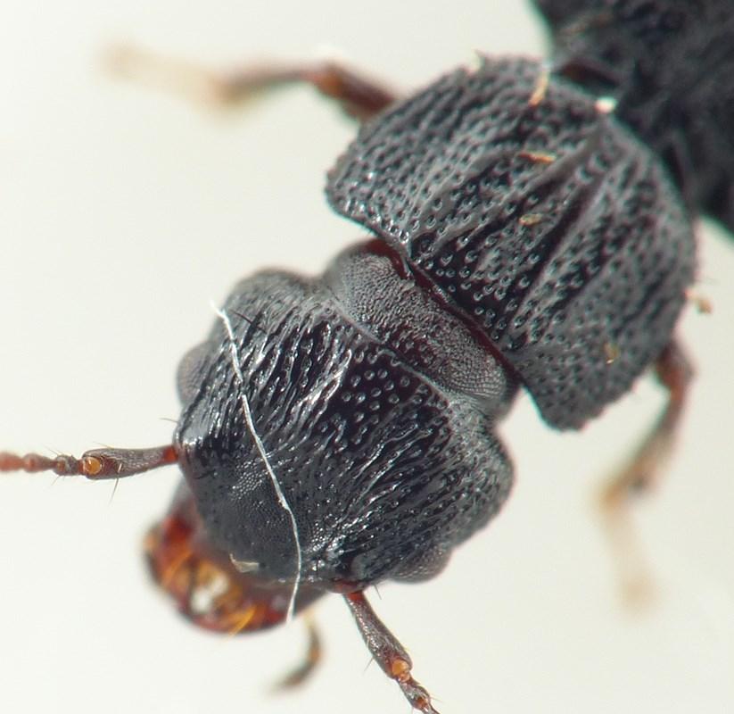 Foto/billede af Anotylus rugosus (Anotylus rugosus)