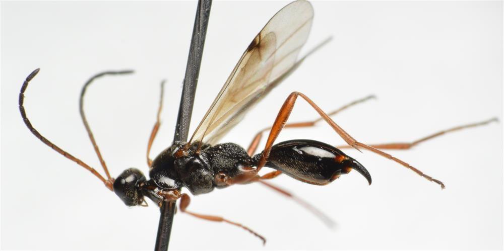 Phaenoserphus viator (Phaenoserphus viator)