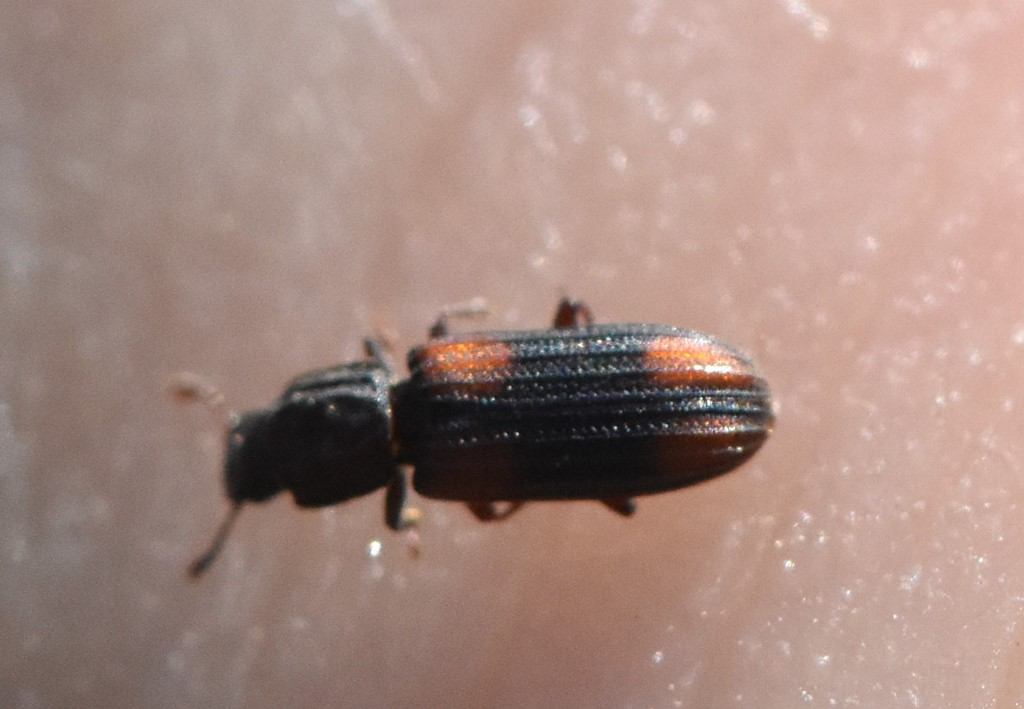 Foto/billede af Dannebrogsbille (Bitoma crenata)
