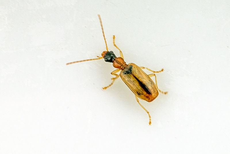 Foto/billede af Demetrias atricapillus (Demetrias atricapillus)