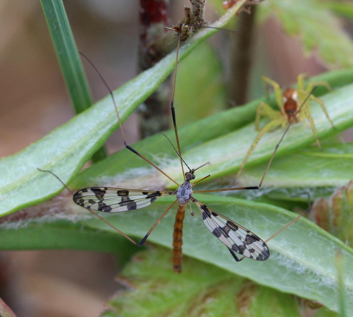 Idioptera linnei