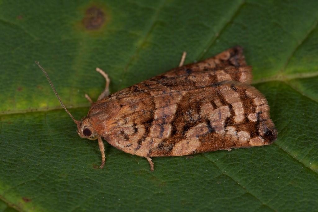Foto/billede af Skovfyrsommervikler (Archips oporana)