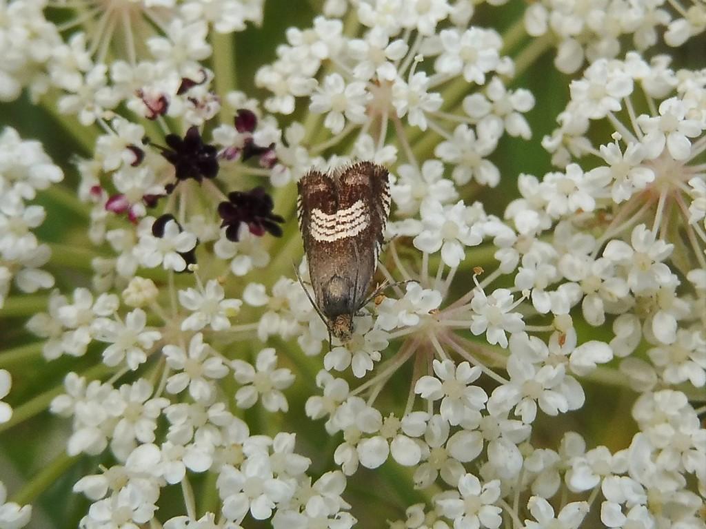 Foto/billede af Kløvervikler (Grapholita compositella)