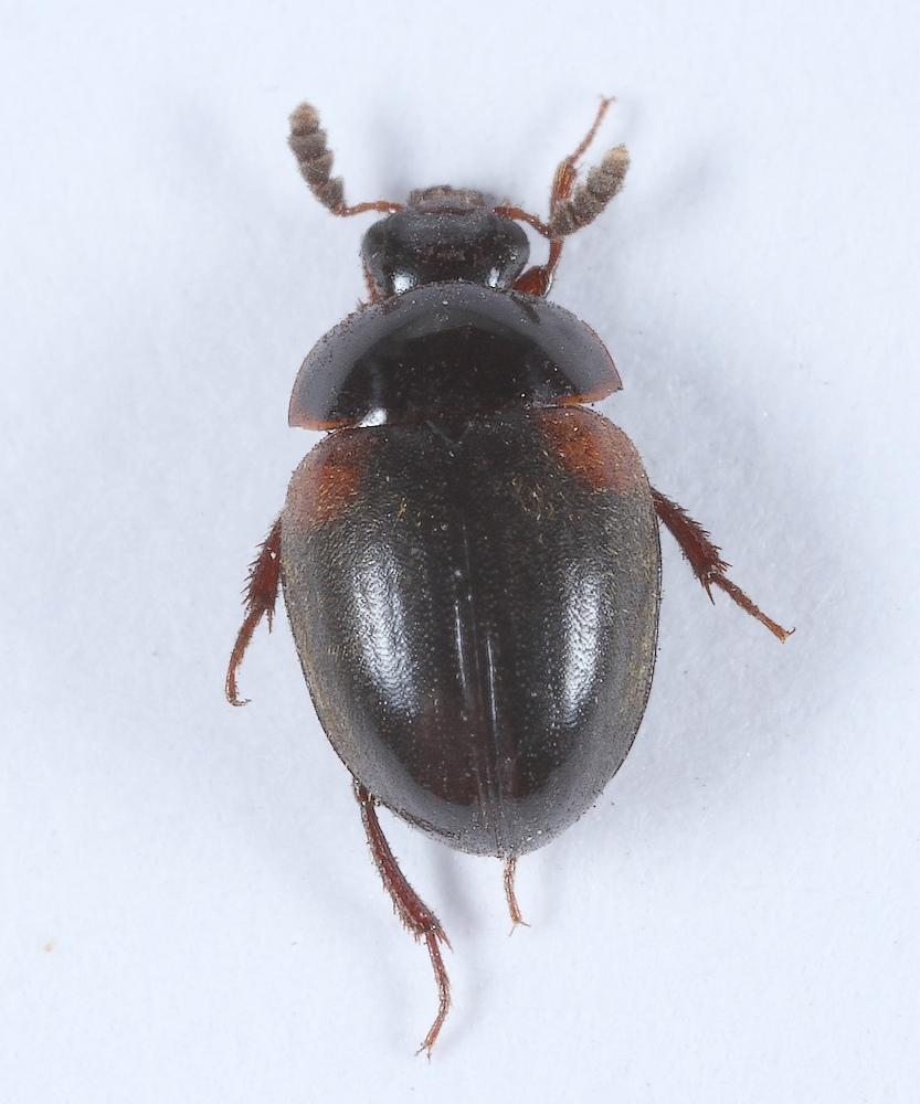 Foto/billede af Anisotoma humeralis (Anisotoma humeralis)