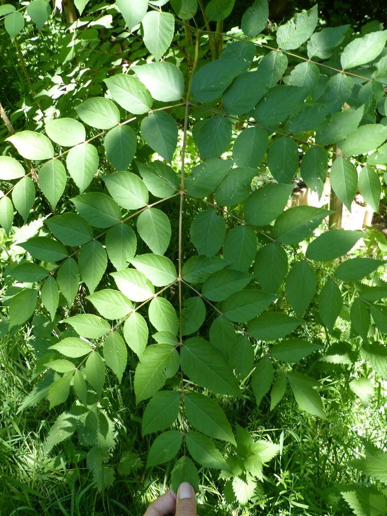 Fandens Spadserestok (Aralia chinensis)