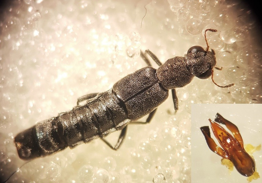 Stenus pubescens (Stenus pubescens)