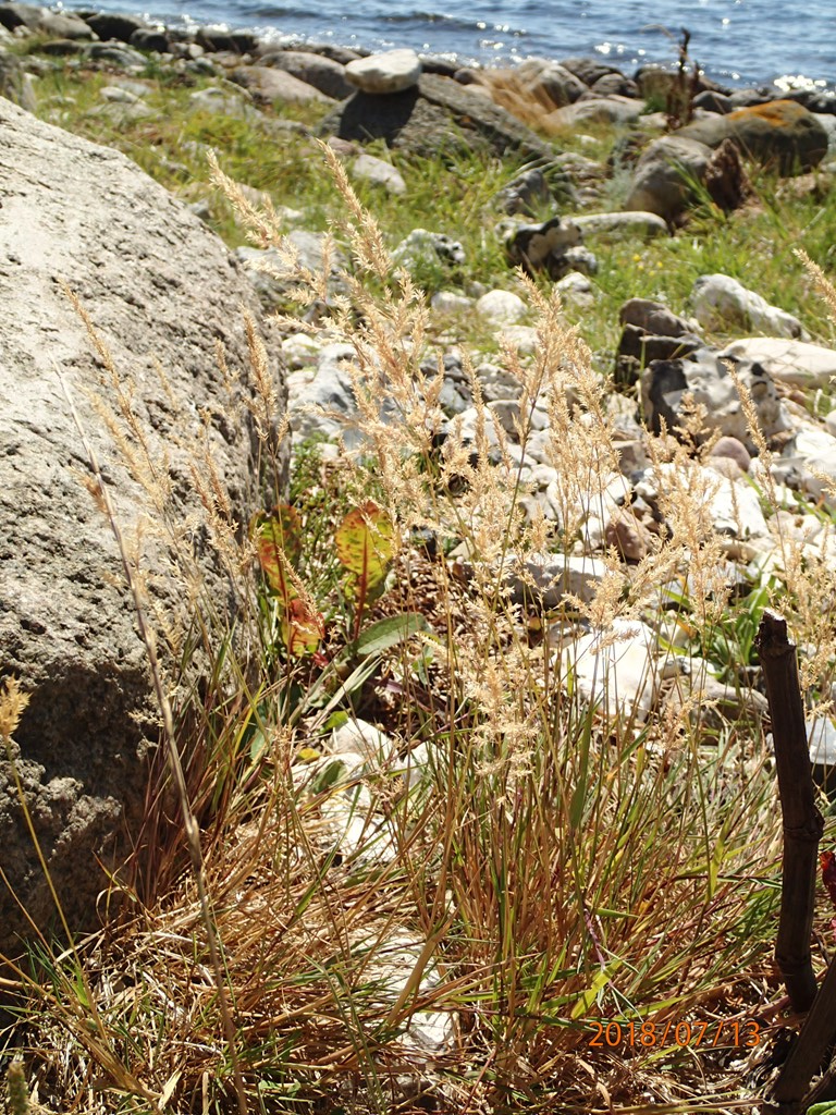 Foto/billede af Kryb-Hvene (Agrostis stolonifera var. stolonifera)