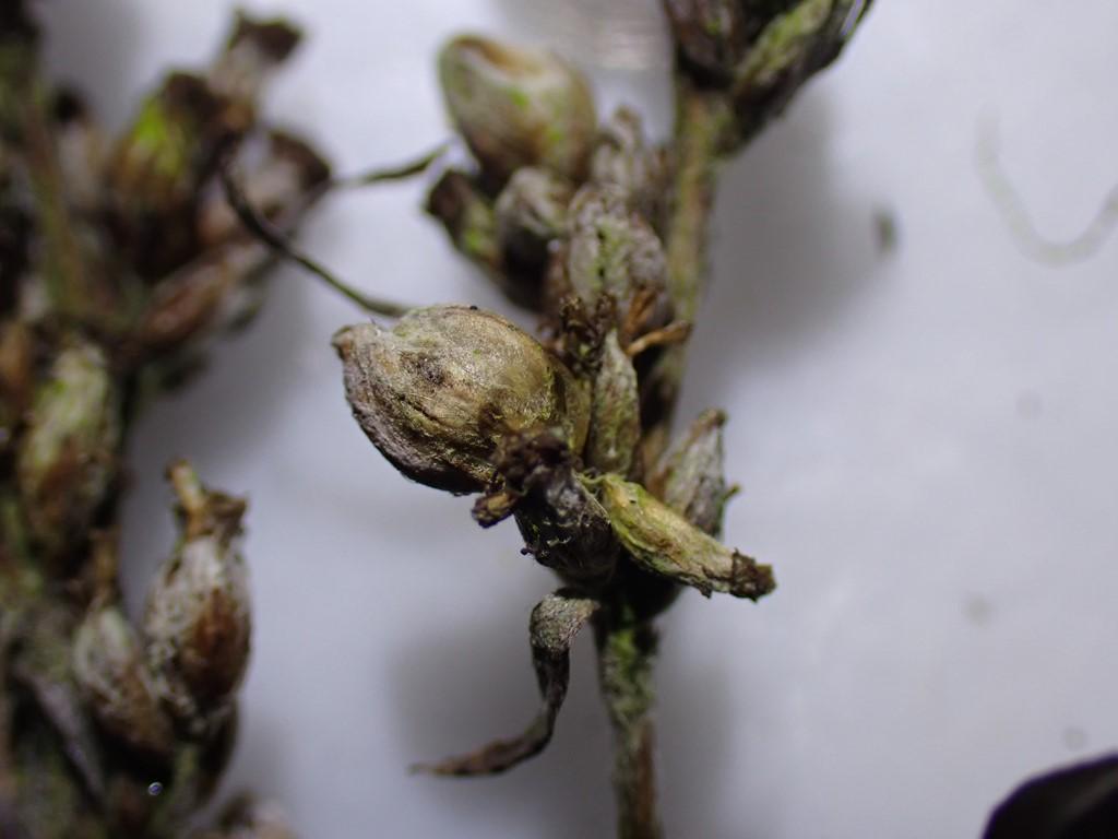 Anthodiplosis rudimentalis