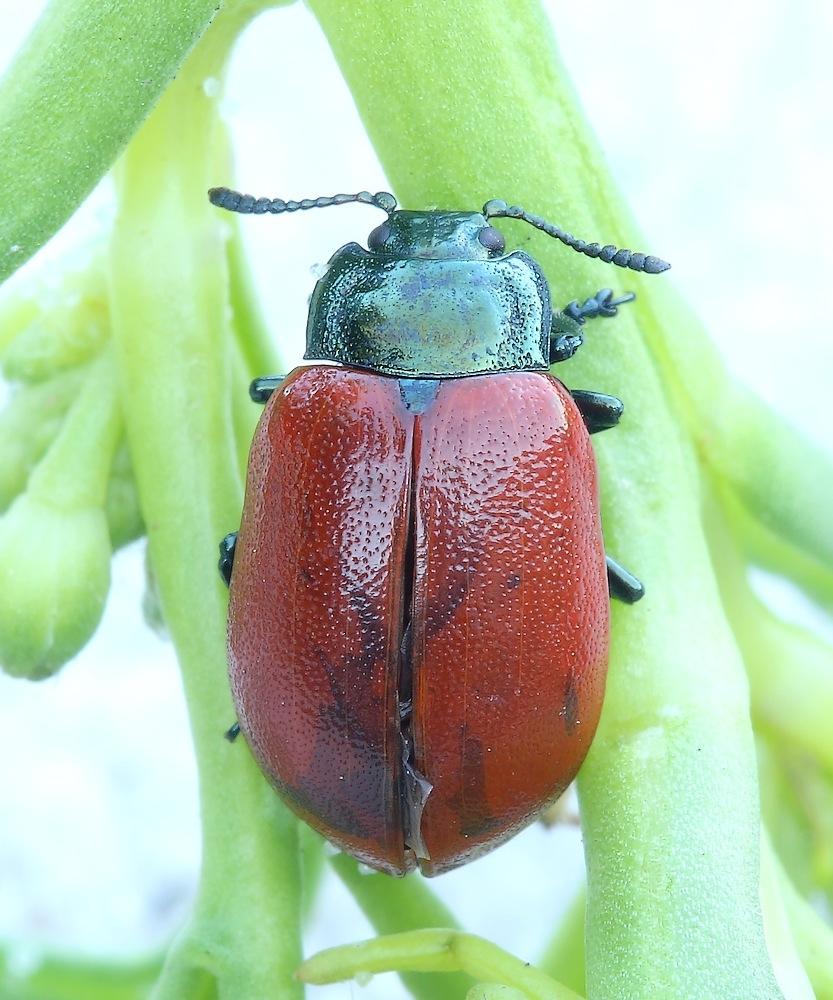 Rød Pilebladbille (Chrysomela saliceti)