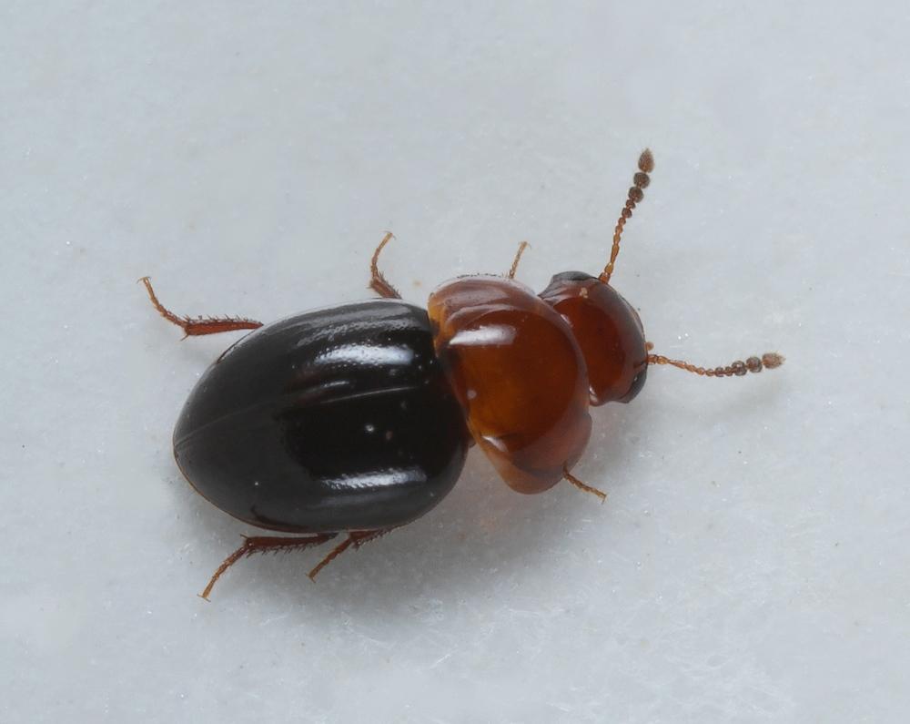 Agathidium nigripenne (Agathidium nigripenne)