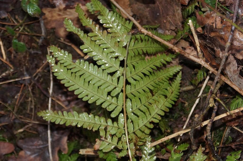 Foto/billede af Almindelig mangeløv (Dryopteris filix-mas)